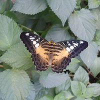 farfalla Avatar